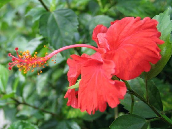 Mygov Maklumat Malaysia Bunga Kebangsaan